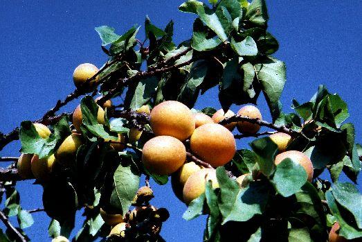 Сложно отказать себе в сочных спелых абрикосах с красными бочками
