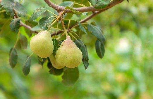 Ну а  о грушах, и тем более яблоках на Крите и говорить не приходится - ешь не хочу!