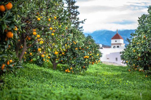 В течение года на острове снимают несколько урожаев цитросовых