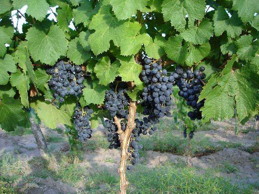 На Крите размещается около 15% всех виноградников Греции