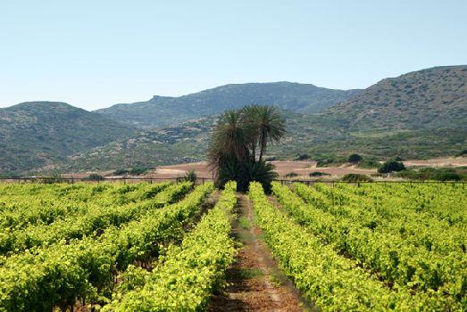 Крит производит пятую часть вин от количества, производимого всей Грецией!